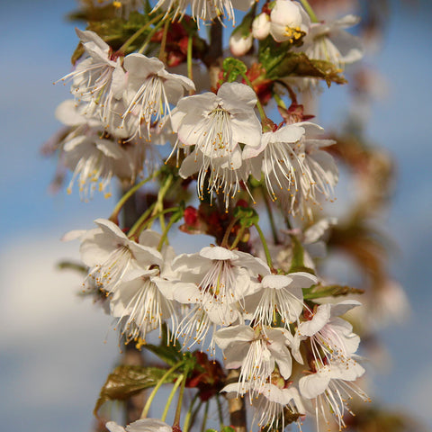 Prunus litigiosa - Flowers