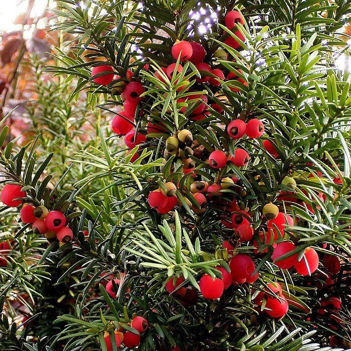Taxus Baccata Common Yew Mail Order Trees