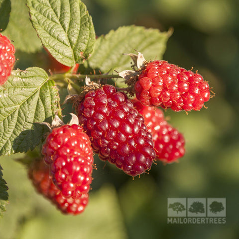 Tayberry Medana - Fruits