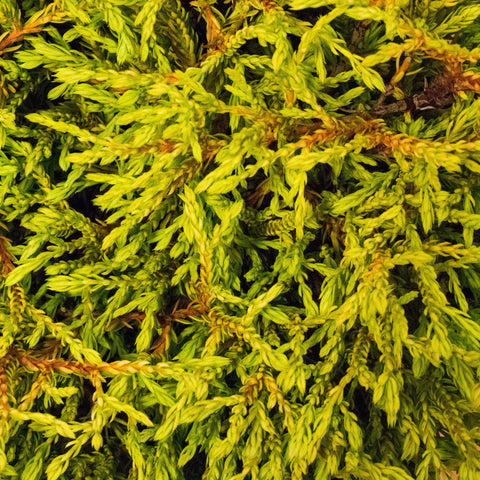 Thuja occidentalis Golden Tuffet - Golden Tuffet Arborvitae