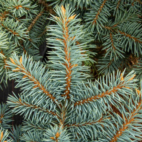 Picea pungens Thume - Colorado Spruce Thume