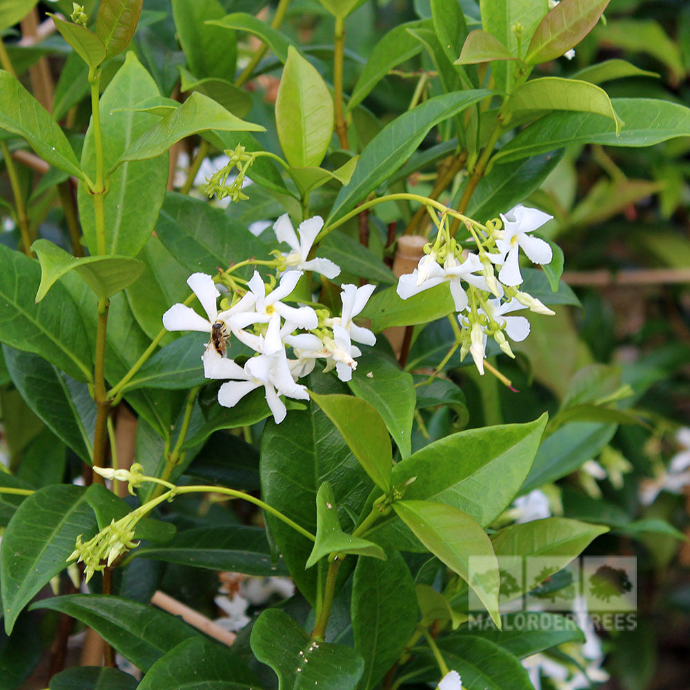 trachelospermum jasminoides confederate jasmine mail order trees. Black Bedroom Furniture Sets. Home Design Ideas
