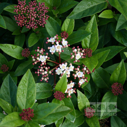 Viburnum Eve Price - Flowers