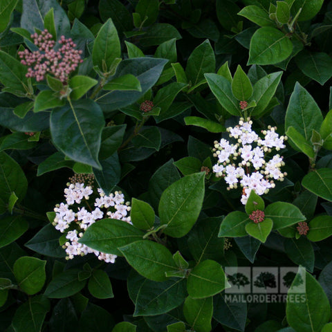 Viburnum French White - Flowers