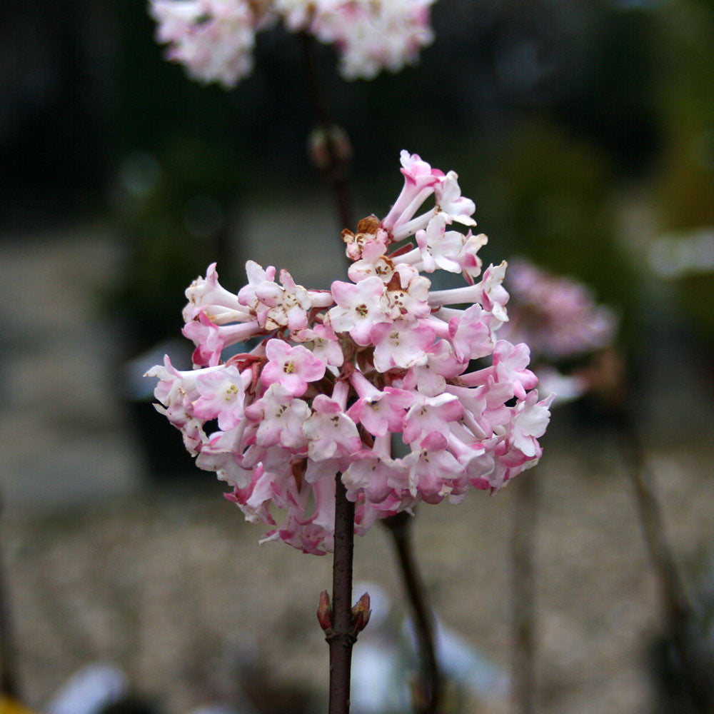 viburnum x bodnantense dawn viburnum mail order trees. Black Bedroom Furniture Sets. Home Design Ideas