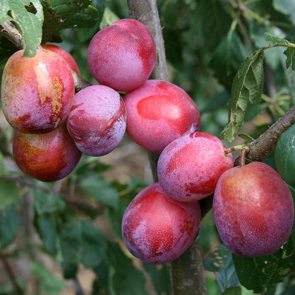 Fruit Products Mail: Victoria Plum Tree - Prunus Victoria