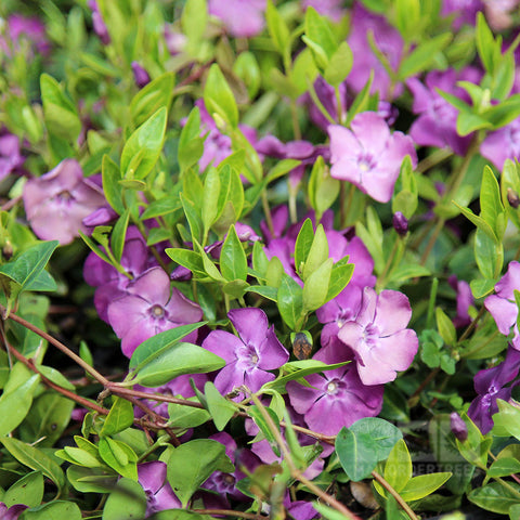 Vinca minor Atropurpurea - Flowers