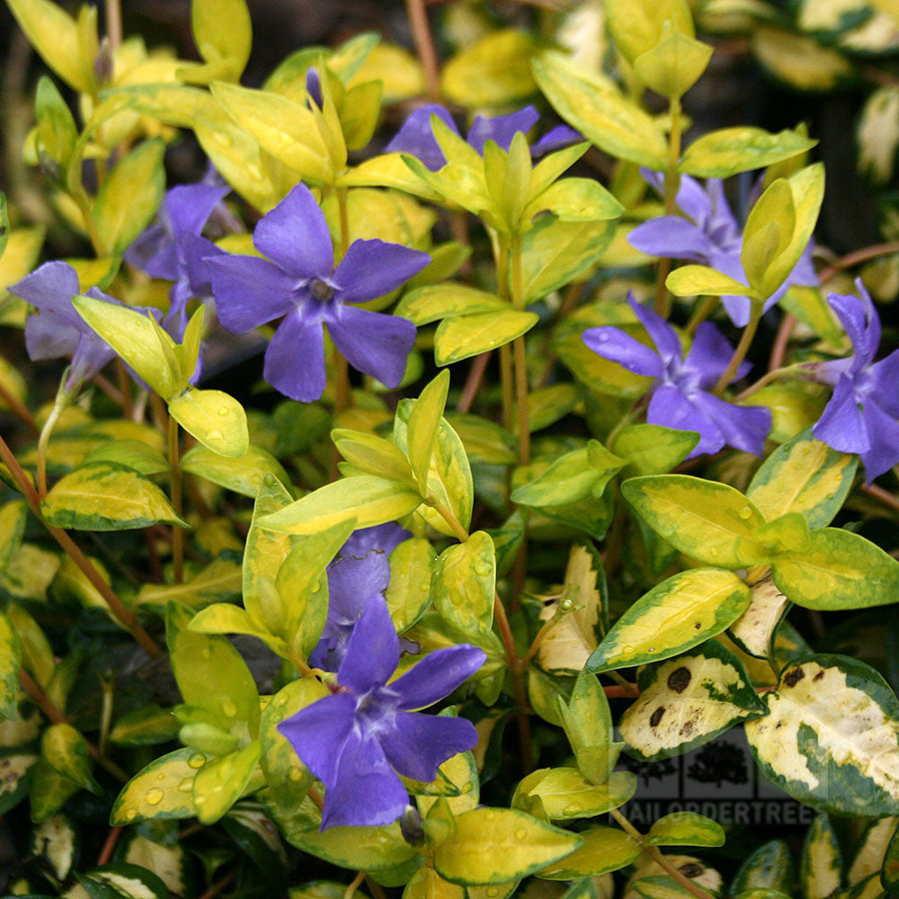 vinca minor illumination lesser periwinkle mail order trees. Black Bedroom Furniture Sets. Home Design Ideas