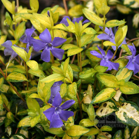 Vinca minor Illumination - Flowers