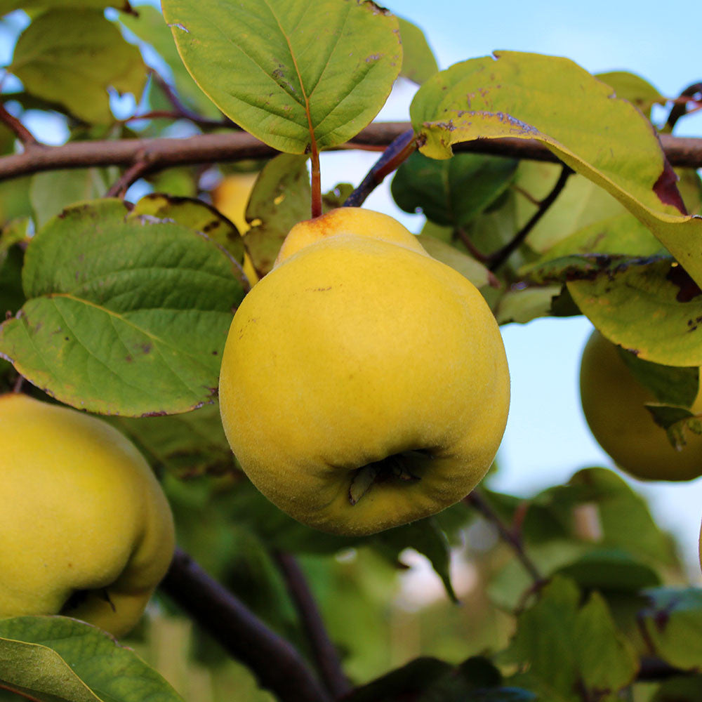 Fruit Products Mail: Cydonia Vranja - Vranja Quince Tree