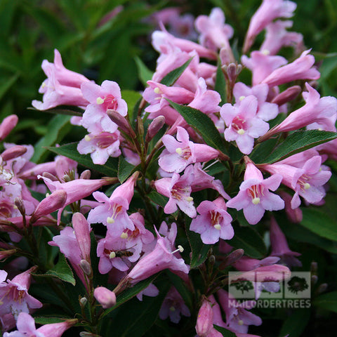 Weigela Pink Poppet - Flowers
