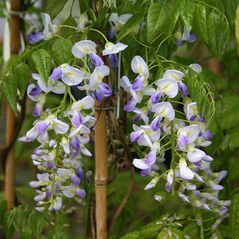 Wisteria Domino - Flowers