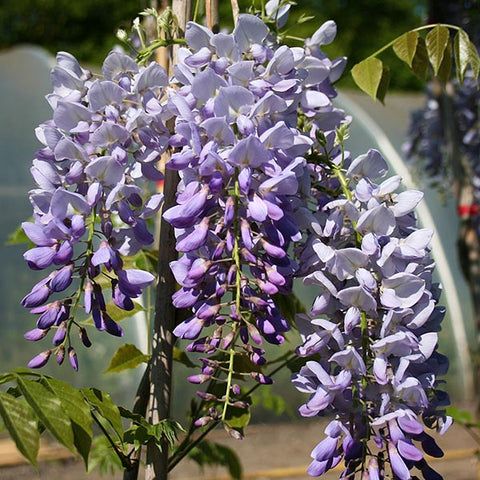 Wisteria Prolific - Flower