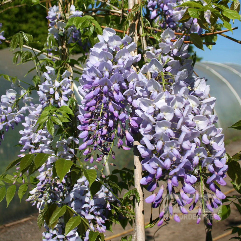Wisteria prolific blue wisteria plant mail order trees for The wisteria