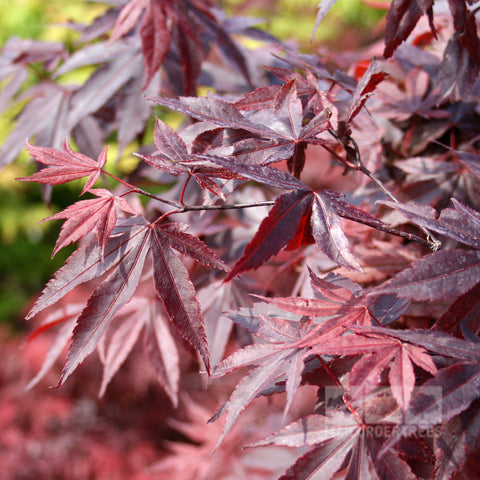 Acer Japanese Maple Trees Mail Order Trees