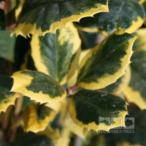 Ilex Golden King - Foliage