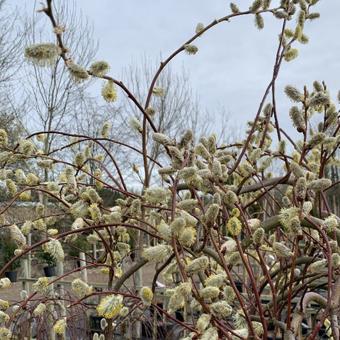 Salix Curly Locks - Pussy Willow Tree