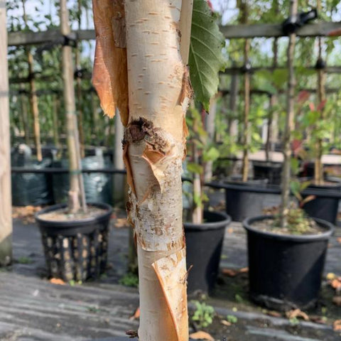 Betula Grayswood Ghost - Himalayan Birch Tree