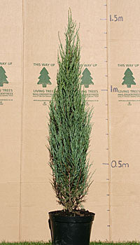 Juniperus Skyrocket