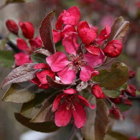 Malus Profusion - Flowers