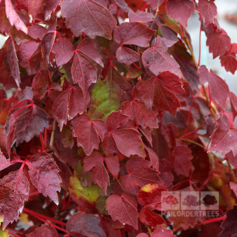 Parthenocissus Veitchii - Foliage