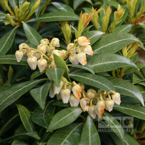 Pieris Purity - Flowers