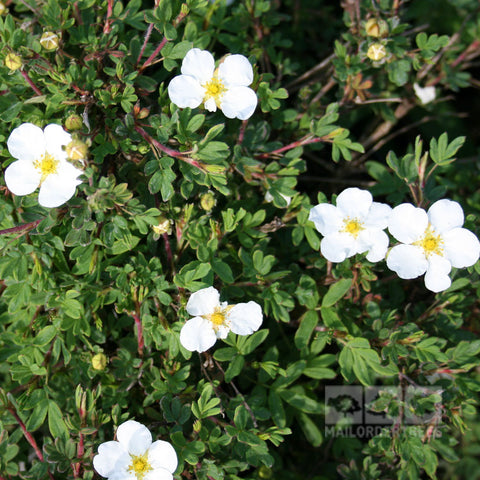 Potentilla Abbotswood - Flowers