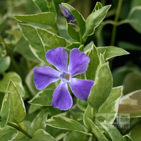 Vinca major Variegata - Flowers