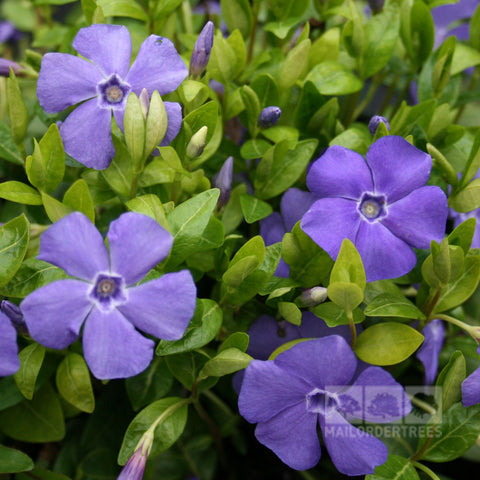 Vinca minor Bowles Variety - Flowers