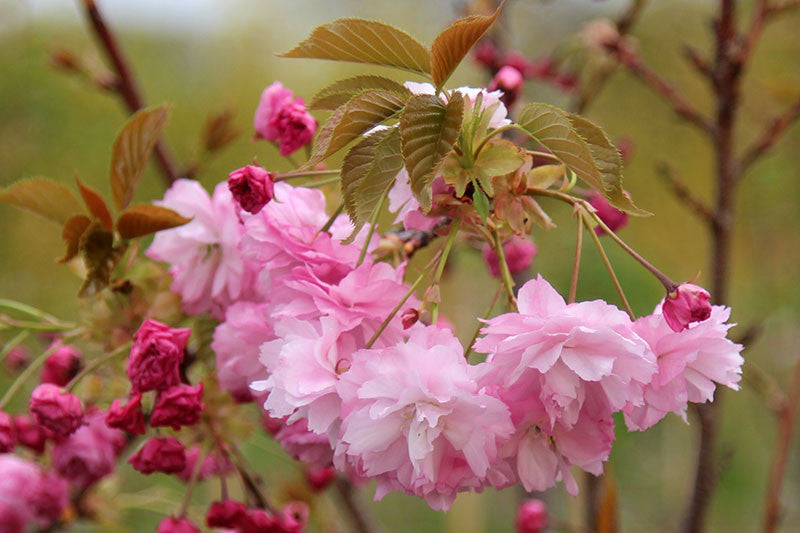 Buy One Get One Free - Ornamental Trees