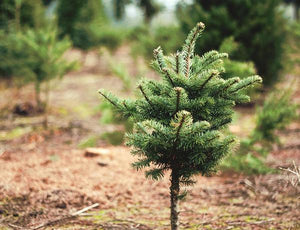 Faux vs. Fir: The Christmas Tree Debate