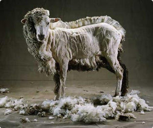 Wool: The Wolf in Sheep's Clothing