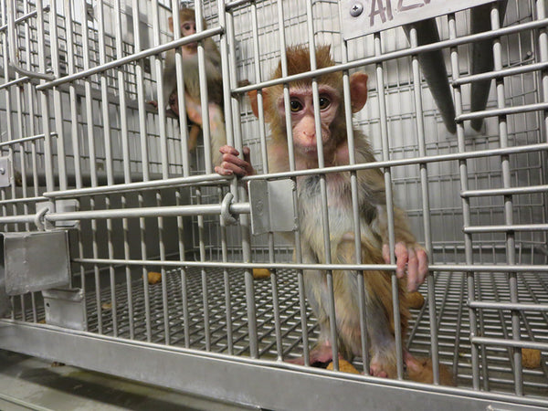 Caged lab monkeys