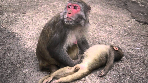 A mother monkey mourns the death of her baby