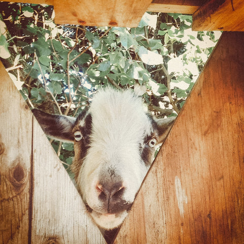 A white black and brown goat with blue eyes pokes his head through an opening in a wooden goat-house