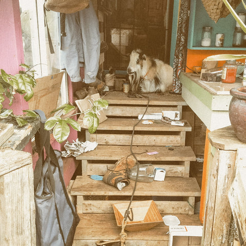 A goat sits in an outdoor kitchen after pulling everything off of the shelves