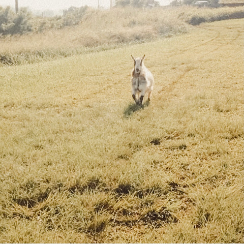 A white black and brown patterned goat runs excitedly down a green grassy hill.