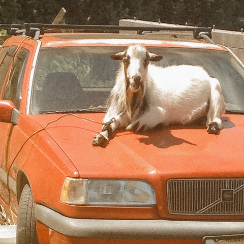 A white black and brown patterned goat laying on the hood of a red Volvo station wagon