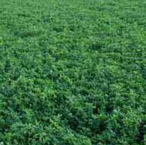 Alfalfa Cover Crop
