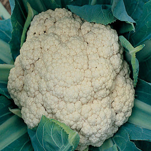 Snow Crown F1 Cauliflower