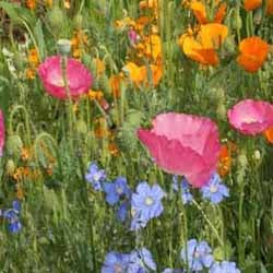 Dryland Wildflower Mix