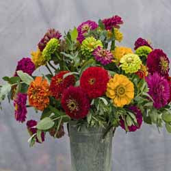 Benary's Giant Zinnia Mix OUT OF STOCK