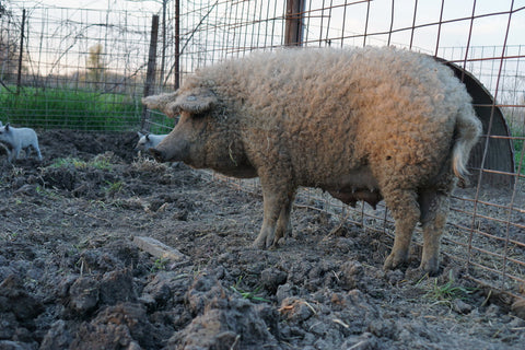 One of our Mangalitsa Sows