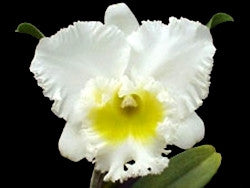 Blc. Burdekin Wonder 'White Snow'
