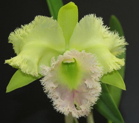 Blc. Golf Green 'Hair Pig'
