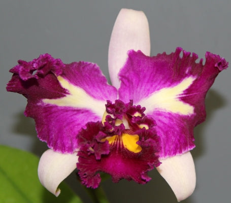 Blc. Chinese Beauty 'Orchid Queen' AM