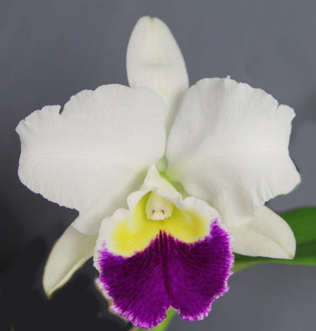 Blc. Clown Show 'Hawaii'