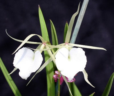 Brassavola nodosa 'Panama Soire' AM/AOS  'Lady of the Night Orchid'
