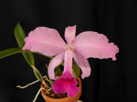 Cattleya lawrenceana 'New-Really Nice' x self