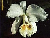Cattleya mossiae v. alba 'Caliman' x self